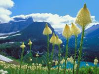 beargrass_-_national_park_montana_pictures_1024x768_t1.jpg