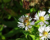 bee_on_aster_pictures_t1.jpg