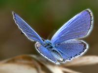 blue_butterfly_-_xerces_blue_pictures_1600x1200_t1.jpg