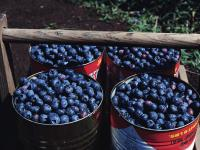 blueberry_pictures_1600x1200_t1.jpg