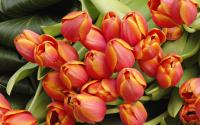 bouquet_of_fresh_tulips_pictures_t1.jpg